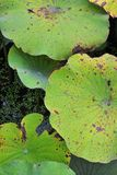 莲花leaf~Lotus秀丽纹理  图库摄影