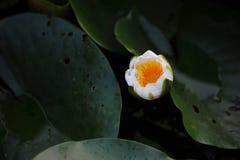 莲花leaf~Lotus秀丽纹理  免版税库存图片