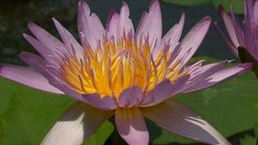 莲花pinklotus yellowandpink自然泰国 库存图片