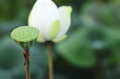 莲花seedpod 免版税库存图片