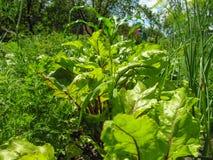 莳萝、土豆和甜菜绿叶 库存照片