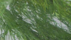 莳萝在水中 股票视频