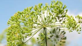 莳萝开花反对天空蔚蓝的 在农夫的种植园的增长的莳萝 特写镜头开花的莳萝在夏天 股票视频
