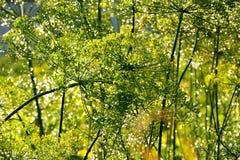 莳萝植物,被弄脏的背景 免版税库存照片