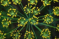 莳萝(Anethum graveolens) 宏指令 顶视图 免版税库存图片