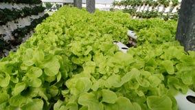 莴苣在一个水耕的农场 免版税图库摄影