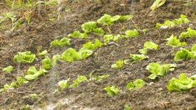莴苣在农田和雨中 影视素材