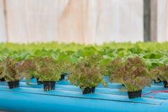 莴苣在水耕的农场 库存图片