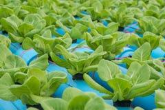 莴苣在水耕的农场 免版税库存图片