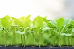 莴苣小幼木在耕种盘子的 免版税库存照片