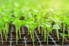 莴苣小幼木在耕种盘子的 库存图片