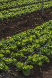 莴苣庄稼在种植园 图库摄影