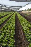 莴苣庄稼在种植园 免版税库存图片
