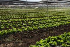 莴苣庄稼在种植园 免版税图库摄影