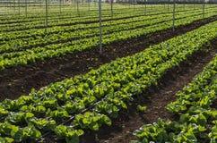 莴苣播种种植园 库存照片