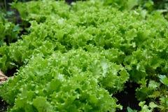 莴苣植物在庭院里增长 库存图片