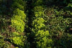 莴苣的种植园 免版税图库摄影