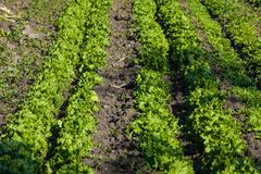 莴苣的种植园 免版税库存图片