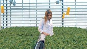 莴苣盆的幼木由一名女性温室工作者检查 股票视频