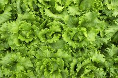 莴苣种植园菜农厂食物农业有机绿色 免版税图库摄影