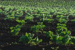莴苣种植园详细资料 免版税库存图片