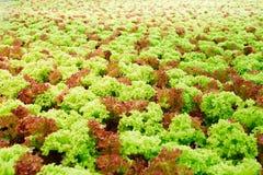 莴苣种植园 图库摄影