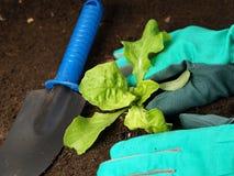 莴苣种植 库存照片