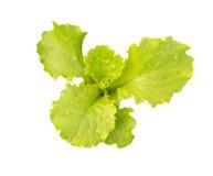 莴苣 沙拉叶子 新鲜的绿色莴苣叶子 库存照片