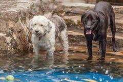 获得与狗和拉布拉多的乐趣 免版税库存照片