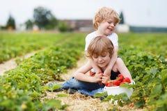 获得两个小兄弟姐妹的男孩在草莓农场的乐趣 免版税图库摄影