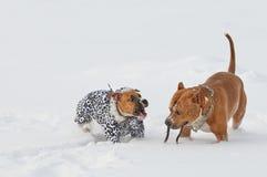 获得两条美国斯塔福德郡狗的狗在雪乔夫的乐趣 免版税库存照片