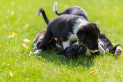获得小的小狗使用在草和乐趣户外 库存照片
