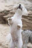 获得幼小Coton de tulear的狗在海滩的乐趣 库存图片