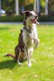 获得的博德牧羊犬使用在草和乐趣户外 图库摄影