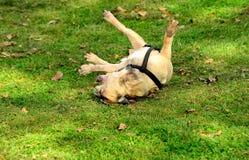 获得的法国牛头犬在草的乐趣 免版税库存照片