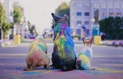 获得的狗与holi油漆的乐趣  免版税库存图片