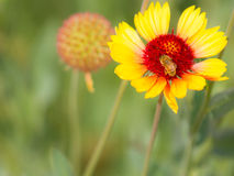 获得花粉的蜂 图库摄影