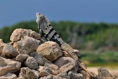 获得鬣鳞蜥星期日的浴 免版税图库摄影