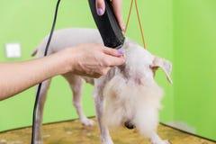 获得他的头发剪切的狐狸狗 免版税库存图片