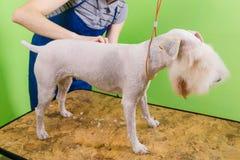 获得他的头发剪切的狐狸狗 免版税库存照片