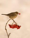 莺用花楸浆果 免版税图库摄影