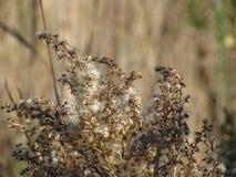 菊科植物去蓬松种子 免版税图库摄影