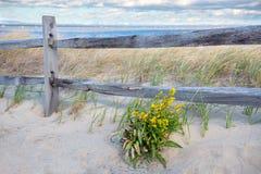 菊科植物和沙丘 库存图片