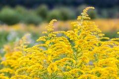 菊科植物的一朵黄色领域花的开花 免版税库存照片