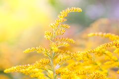 菊科植物的一朵黄色领域花的开花 库存图片