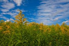 菊科植物的领域反对一明亮的天空蔚蓝的与白色云彩 库存照片