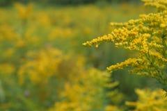 菊科植物 图库摄影