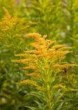 菊科植物 库存照片