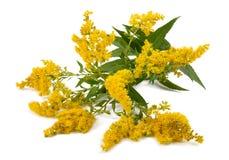 菊科植物& x28; 一枝黄花gigantea& x29; 库存照片