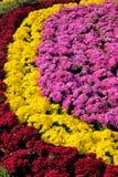 菊花分配为花坛的区域 免版税库存照片